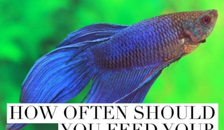 Betta Fish Feeding Instructions - The Best Betta Fish Food