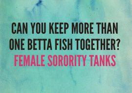 Female betta fish sorority tanks | Keeping more than one betta fish together