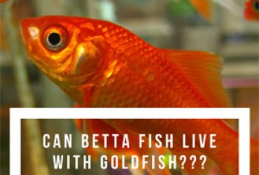 Guides for betta fish care japanese fighting fish blog for Can betta fish live with other fish