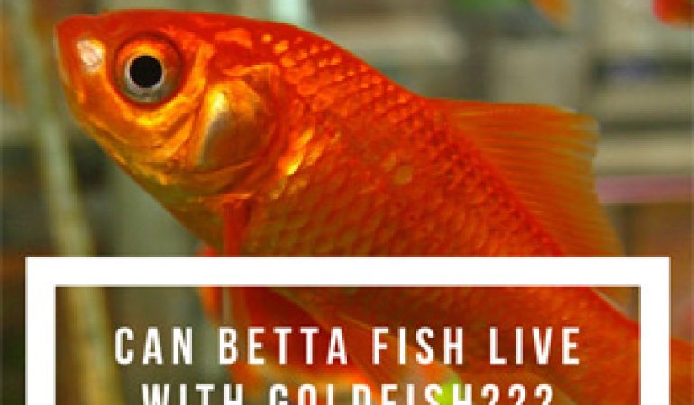 Can betta fish live with goldfish betta fish care articles for How long can a betta fish live