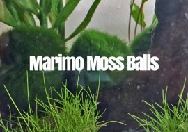 The Ultimate Guide to Marimo Moss Balls
