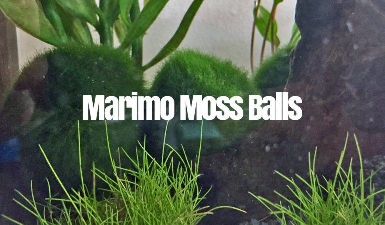 Marimo Moss Ball Care Guide: How to take care? What are the